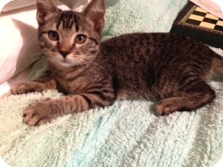 American Shorthair Kitten for adoption in Weatherford, Texas - Bean