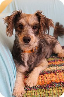 Yorkie, Yorkshire Terrier/Dachshund Mix Dog for adoption in Staunton, Virginia - Meeko