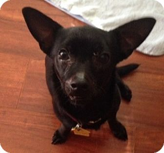 Dachshund/Chihuahua Mix Dog for adoption in San Marcos, California - Zoie
