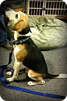 Beagle Dog for adoption in Sinking Spring, Pennsylvania - Hunter