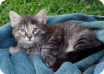 Domestic Mediumhair Kitten for adoption in Carencro, Louisiana - Cocoa