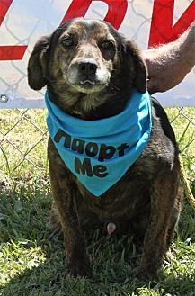 Dachshund Mix Dog for adoption in Grayson, Louisiana - Bones