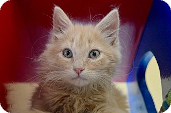 Domestic Shorthair Kitten for adoption in Buena Vista, Colorado - Pea Eye