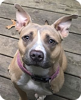 American Staffordshire Terrier Mix Dog for adoption in Grand Rapids, Michigan - Bella