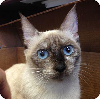 Siamese Cat for adoption in Savannah, Georgia - Pandora