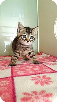 Domestic Shorthair Kitten for adoption in Fairmont, West Virginia - Winky