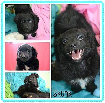 Spaniel (Unknown Type)/Chihuahua Mix Puppy for adoption in PHOENIX, Arizona - Skunk