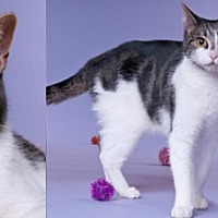 Domestic Shorthair Cat for adoption in Chicago, Illinois - Eva