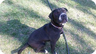 Labrador Retriever/Boxer Mix Dog for adoption in Colorado Springs, Colorado - Apollo