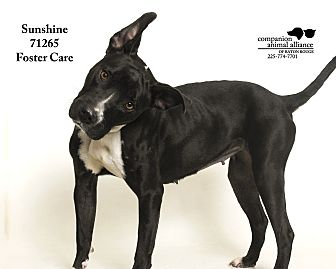 American Pit Bull Terrier Mix Dog for adoption in Baton Rouge, Louisiana - Sunshine (Foster Care)
