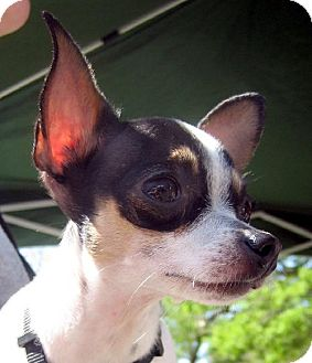 Chihuahua Dog for adoption in Guthrie, Oklahoma - LuLu'adoption pending'