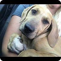 Adopt A Pet :: Logan Beau - Tampa, FL