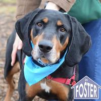 Coonhound Mix Dog for adoption in Ann Arbor, Michigan - Lucetta