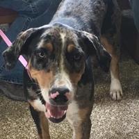 Catahoula Leopard Dog Mix Dog for adoption in Kenedy, Texas - Hank Allen