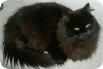 Domestic Longhair Cat for adoption in Medford, Massachusetts - Choucroute