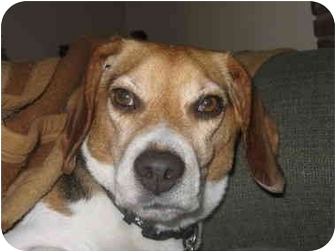 Beagle Dog for adoption in Ventnor City, New Jersey - BARNUM