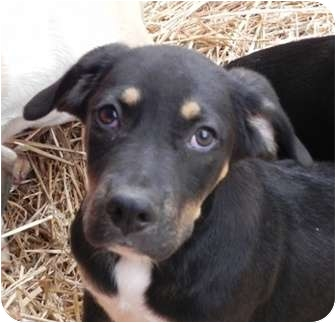 Labrador Retriever/Hound (Unknown Type) Mix Puppy for adoption in Salem, New Hampshire - Mars