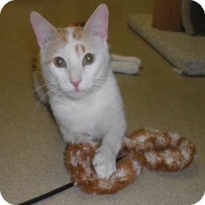Domestic Shorthair Cat for adoption in Phoenix, Arizona - Iggy