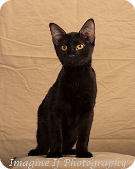 Domestic Shorthair Kitten for adoption in Edmond, Oklahoma - Twilight