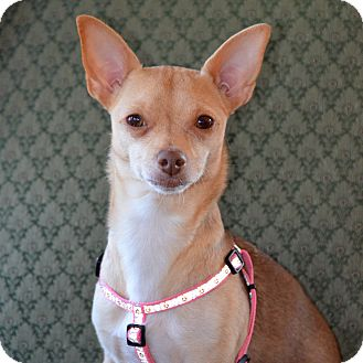 Chihuahua Mix Dog for adoption in Rockville, Maryland - Bambi