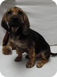 Plott Hound/Black and Tan Coonhound Mix Puppy for adoption in Spruce Pine, North Carolina - Hugo