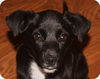 Border Collie Mix Puppy for adoption in East Rockaway, New York - Dani