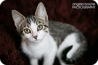 Domestic Shorthair Kitten for adoption in Eagan, Minnesota - Lincoln