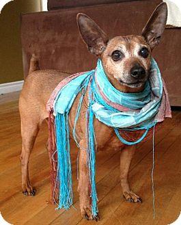 Miniature Pinscher Mix Dog for adoption in Huntsville, Ontario - Harley - Adoption Pending!