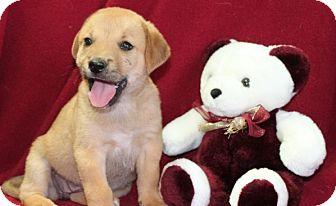 Labrador Retriever Mix Puppy for adoption in Salem, New Hampshire - Pasta