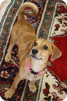 Dachshund Mix Puppy for adoption in Marietta, Georgia - Arlo
