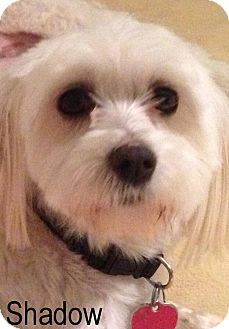 Maltese Mix Dog for adoption in New Jersey, New Jersey - NJ Wycoff - Shadow