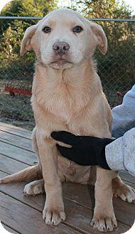 Catahoula Leopard Dog/Labrador Retriever Mix Puppy for adoption in Sagaponack, New York - Declan