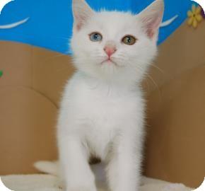 Domestic Shorthair Kitten for adoption in Bradenton, Florida - Louise
