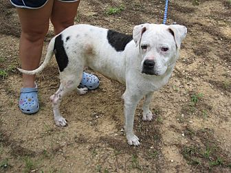 American Bulldog Dog for adoption in Remlap, Alabama - Dixie