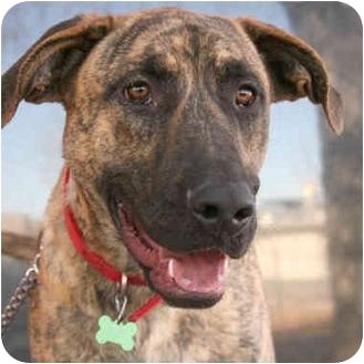 Great Dane/English Shepherd Mix Dog for adoption in Denver, Colorado - Ryder
