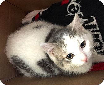 British Shorthair Kitten for adoption in Cincinnati, Ohio - Edward: Anderson