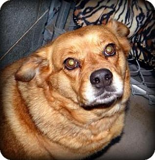 Beagle/Chow Chow Mix Dog for adoption in union, Missouri - Betty