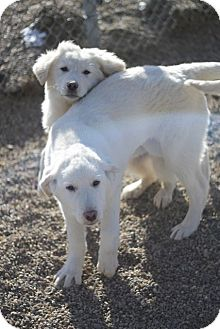 Great Pyrenees/Akbash Mix Puppy for adoption in Craig, Colorado - Jack & Jill