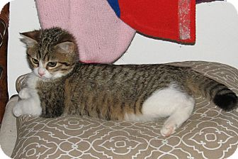 Domestic Shorthair Kitten for adoption in Nashville, Tennessee - Felicity