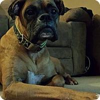 Adopt A Pet :: Dutch - Cedar Rapids, IA