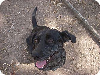 Catahoula Leopard Dog/Labrador Retriever Mix Dog for adoption in Buchanan Dam, Texas - Belle