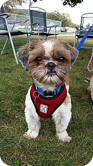 Shih Tzu Dog for adoption in New Milford, Connecticut - Oliver