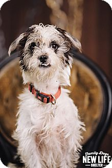 Schnauzer (Miniature)/Lhasa Apso Mix Dog for adoption in Portland, Oregon - Miko