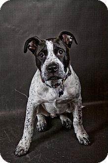 Pointer/Cattle Dog Mix Dog for adoption in West Allis, Wisconsin - Clint Barkton, a.k.a. Hawkeye