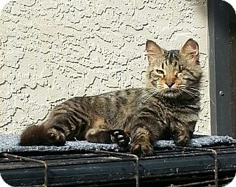 Domestic Mediumhair Cat for adoption in Fort Pierce, Florida - Ramona