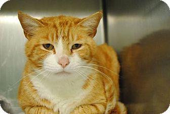 Domestic Shorthair Cat for adoption in Windsor, Virginia - Nemo