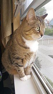 Domestic Shorthair Cat for adoption in Cincinnati, Ohio - Belle Cat