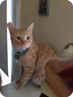 Domestic Shorthair Cat for adoption in Burbank, California - Marmalade