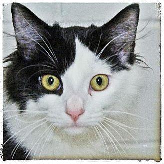 Domestic Mediumhair Kitten for adoption in Salem, Massachusetts - Tipsy
