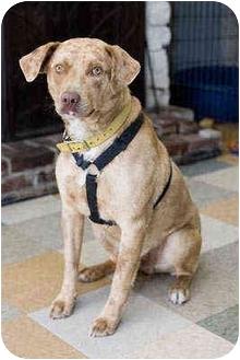 Australian Shepherd/Labrador Retriever Mix Dog for adoption in Portland, Oregon - Lucky